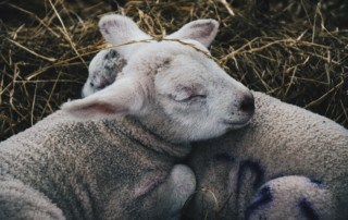 Two lambs sleeping