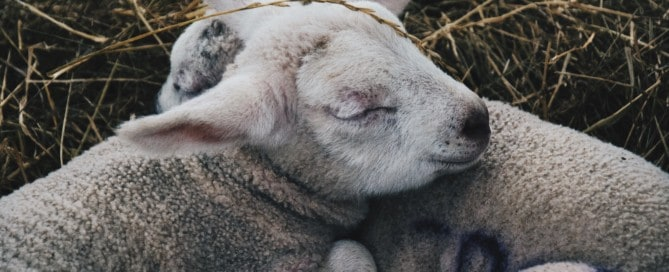 Two lambs sleeping